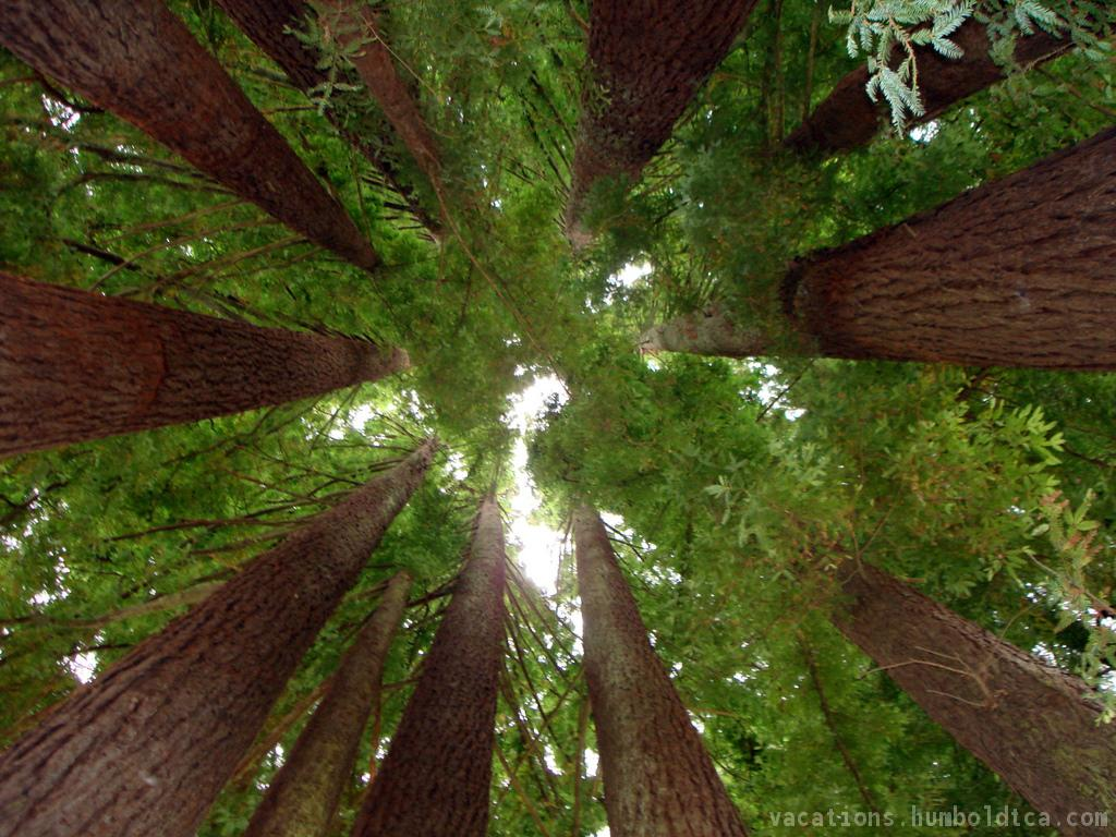 Humboldt Redwood Forest in Eureka